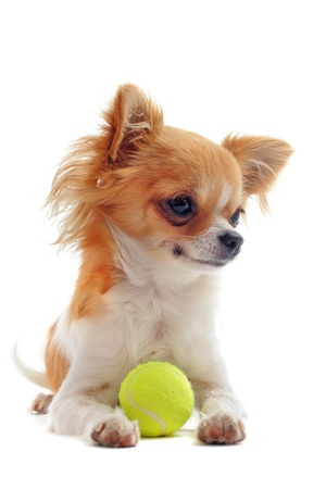 portrait of a cute purebred  puppy chihuahua and his ball in front of white background