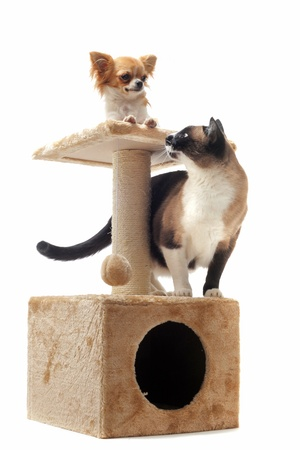 purebred chihuahua and siamese cat on a scratching post photo