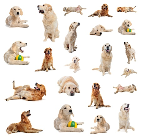 labrador retriever: grupo de retriever de pura raza de oro y el perrito delante de un fondo blanco Foto de archivo