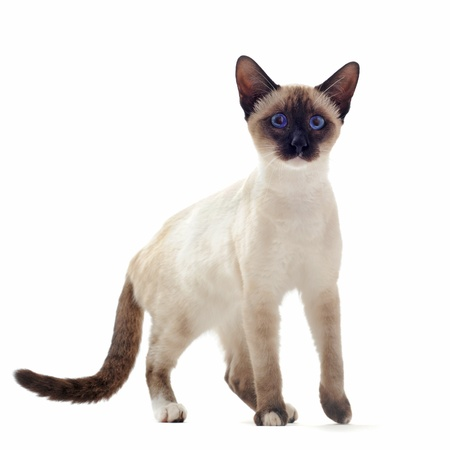 siamese cats: beautiful purebred siamese kitten in front of white background