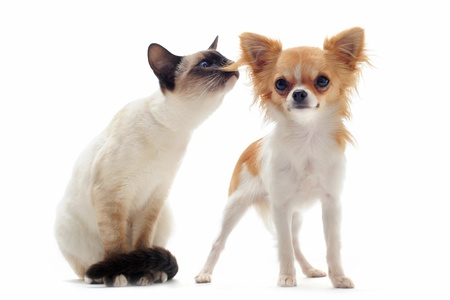 portrait of a cute purebred  puppy chihuahua and siamese kitten in front of white background photo