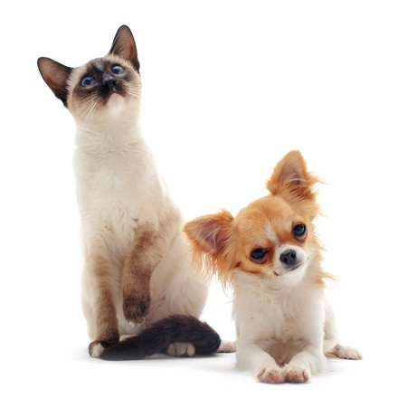 miniature dog: portrait of a cute purebred  puppy chihuahua and siamese kitten in front of white background Stock Photo