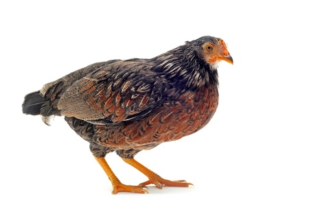bantam hen: A small bantam hen upright on a white background Stock Photo