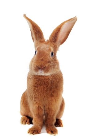 white rabbit: young rabbit fauve de Bourgogne sitting in front of white background
