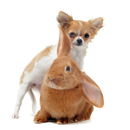 portrait of a cute purebred  puppy chihuahua and bunny in front of white background photo