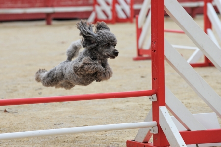 beautiful purebred poodle jumping in a competition of agility photo