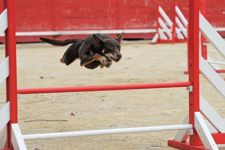 red heeler: red australian cattle dog jumping in a competition of agility