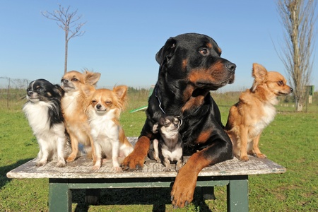 1 and group: portrait of a cute purebred chihuahuas and rottweiler