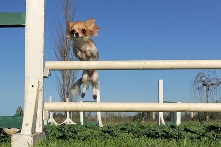 agility: portrait of a cute purebred chihuahua in a training of agility