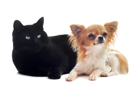sociability: portrait of a cute purebred chihuahua and cat in front of white background