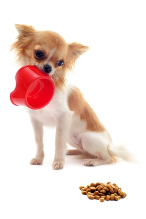 portrait of a cute purebred  puppy chihuahua and his food bowl photo