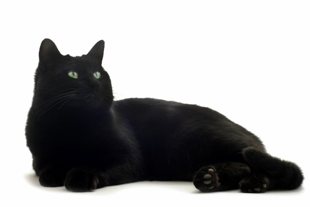 beautiful black cat in front of white background photo