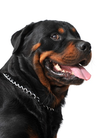 portrait of a purebred rottweiler in front of white background photo