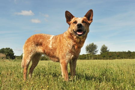 rechtop: rode Australian Cattle Dog rechtop in een veld