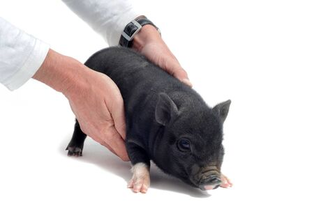 carying: Veterinary taking care a  little black piggy  in front of white background Stock Photo