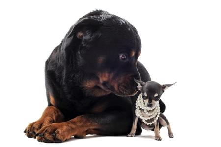 big dog: portrait of a cute purebred chihuahua with pearl collar and rottweiler in front of white background