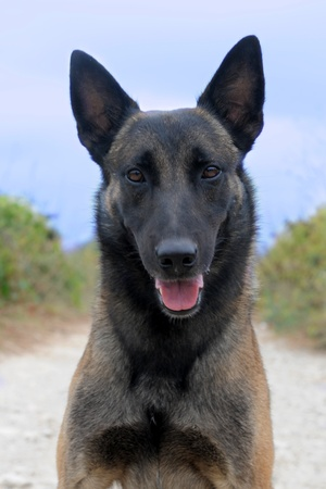picture of a purebred belgian sheepdog malinois photo