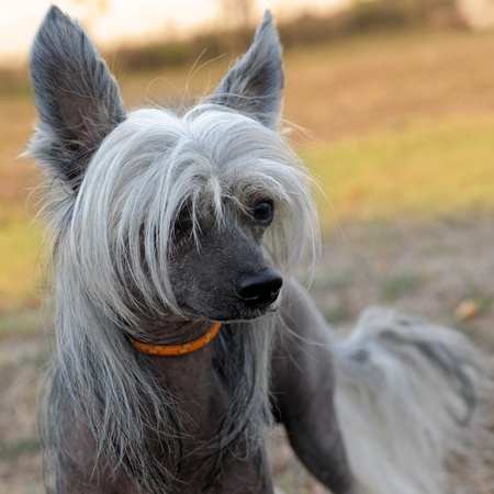 portrait of a purebred Chinese Crested Dog in the nature Stock Photo