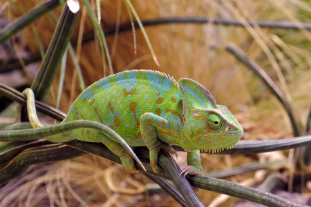 perching: picture of a Yemen or Veiled Chameleon on a branch