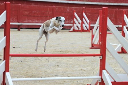 agility dog: portrait of a purebred  whippet jumping in a competition