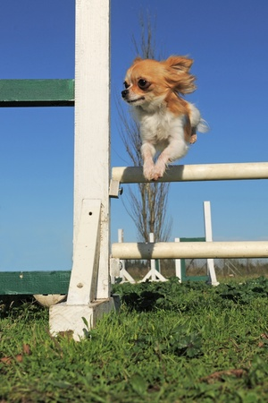 portrait of a cute purebred chihuahua in a training of agility photo
