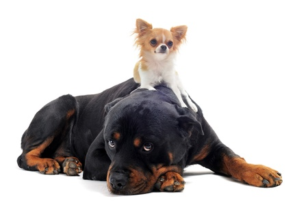 portrait of a purebred rottweiler and puppy chihuahua on the back in front of white background photo