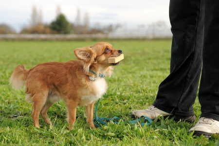 retrieve: portrait of a cute purebred  chihuahua who retrieve a stick Stock Photo