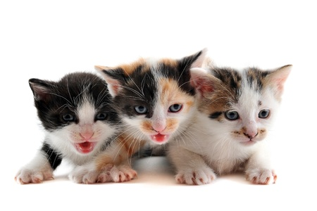 three cute kitten in front of white background Stock Photo - 11770636