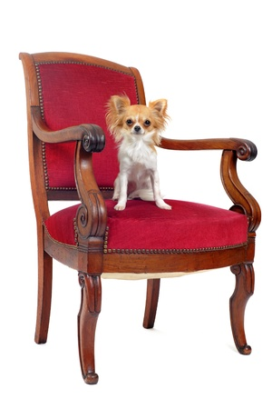 chihuahua sitting on an antique chair in front of white background photo