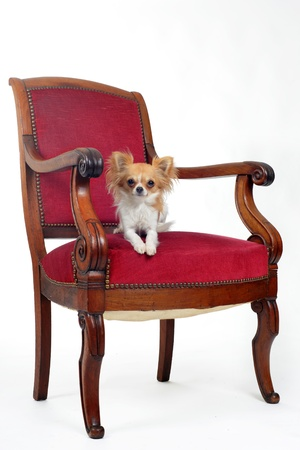 chihuahua laid down on an antique chair in front of white background photo