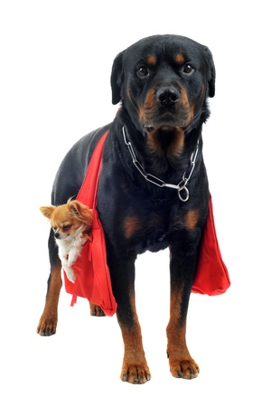 portrait of a purebred rottweiler who holding a chihuahua in a bag in front of white background