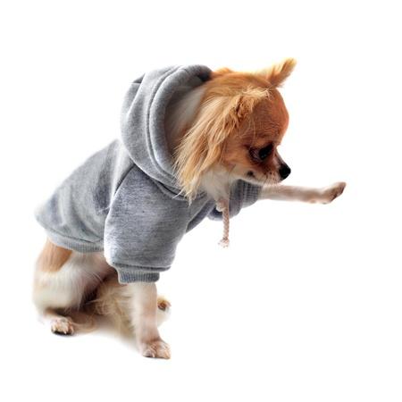 salut: klädd chihuahua ger en tass framför vit bakgrund Stockfoto