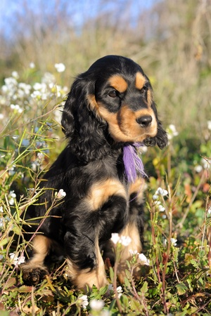 portrait of a puppy purebred english cocker in a field photo