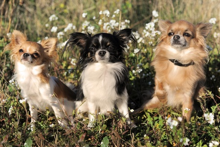 three cute purebred chihuahua in a field photo