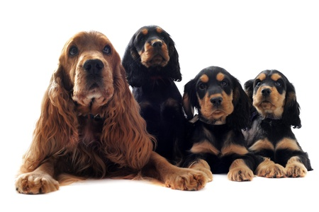 portrait of a  family of cocker spaniel in a studio photo