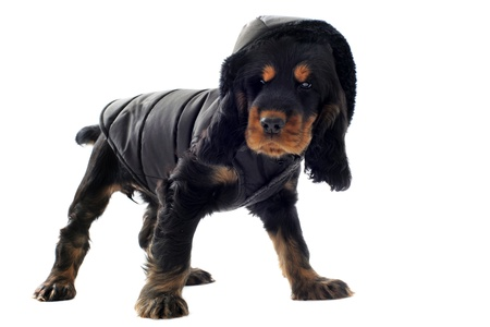 puppy cocker spaniel dressed in front of white background photo