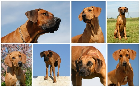 large group of animals: composit picture of purebred rhodesian ridgeback in a field