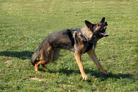 portrait of an aggressive  purebred german shepherd outdoors Stock Photo