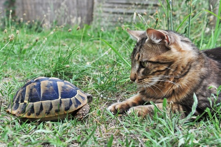 herpetology: Testudo hermanni tortoise meeting a norwegian cat in a garden
