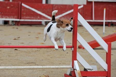 agility dog: beautiful purebred beagle in a competition of agility