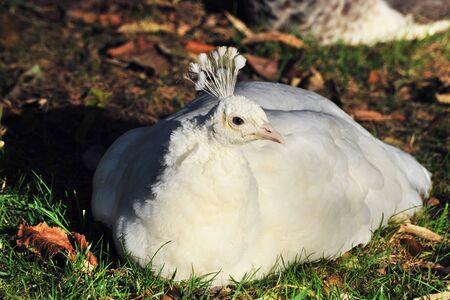 pavo cristatus: white peafowl laid down in the nature, Pavo cristatus