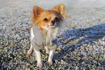 portrait of a cute purebred  dressed chihuahua in a field in winter photo