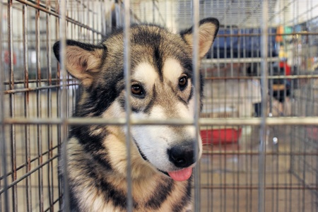 cages: sad Alaskan Malamute closed inside pet carrier  Stock Photo