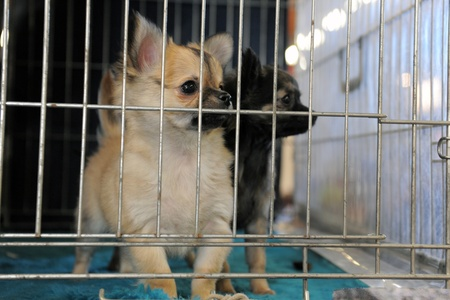 cute puppies chihuahua closed inside pet carrier  photo