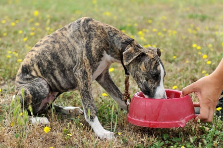 portrait of a purebred puppy whippet who drinking in a bowl photo