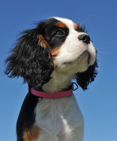 young puppy cavalier king charles tricolor on a blue sky photo