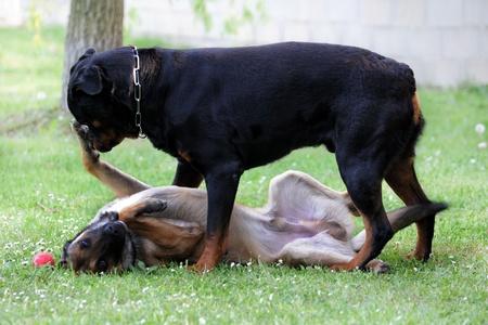 kampfhund: Bild eines reinrassigen belgische Sch�ferhund Malinois und Rottweiler spielen Lizenzfreie Bilder