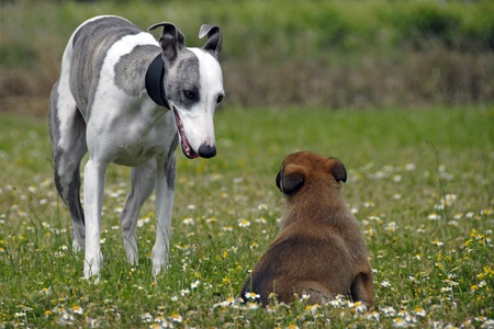 portrait of a  whippet and puppy belgian sheepdog malinois in a field photo
