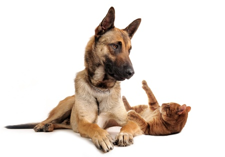 alertness:  purebred belgian sheepdog malinois and ginger cat on a white background