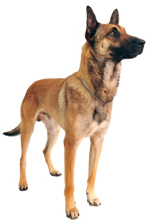 purebred belgian sheepdog malinois on a white background